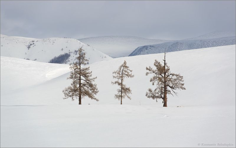 алтай, лиственницы, зима, снег, горы Три поколенияphoto preview