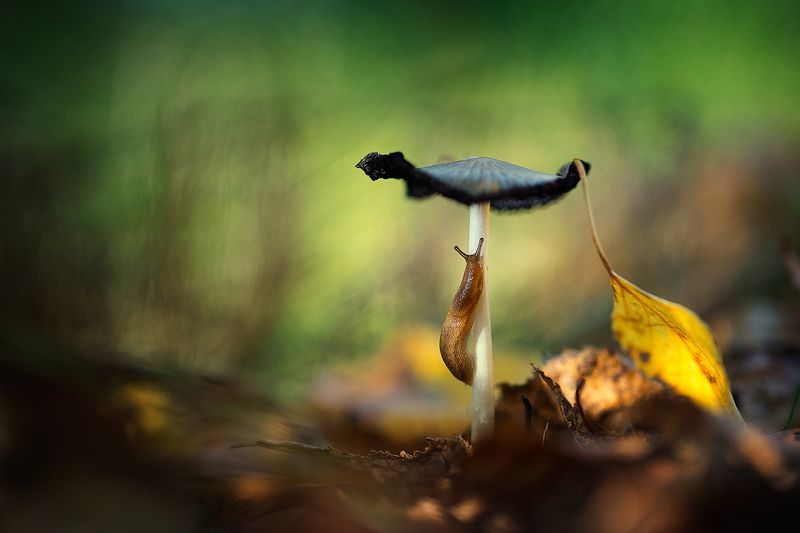 nature,slug,wild,wildlife,beautiful,mushroom,mushrooms,faerie,fairy, Slugphoto preview