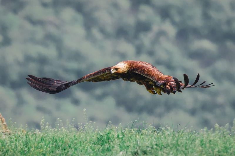 #wild #wildlife #bird #nature #flying орел ( golden eagle )photo preview