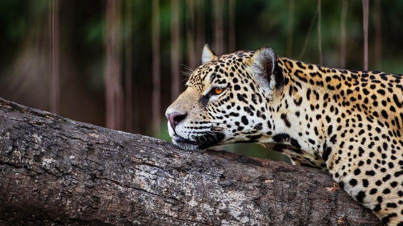 ягуар, бразилия Охота на ягуараphoto preview