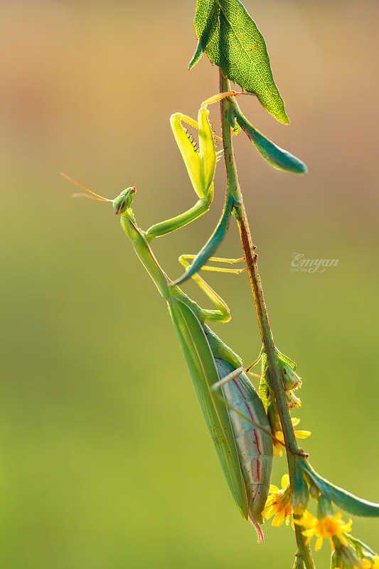 богомол, mantis, mantis religiosa, green, praying mantis, insects, macro, macrophotography, nature, animals Богомолphoto preview