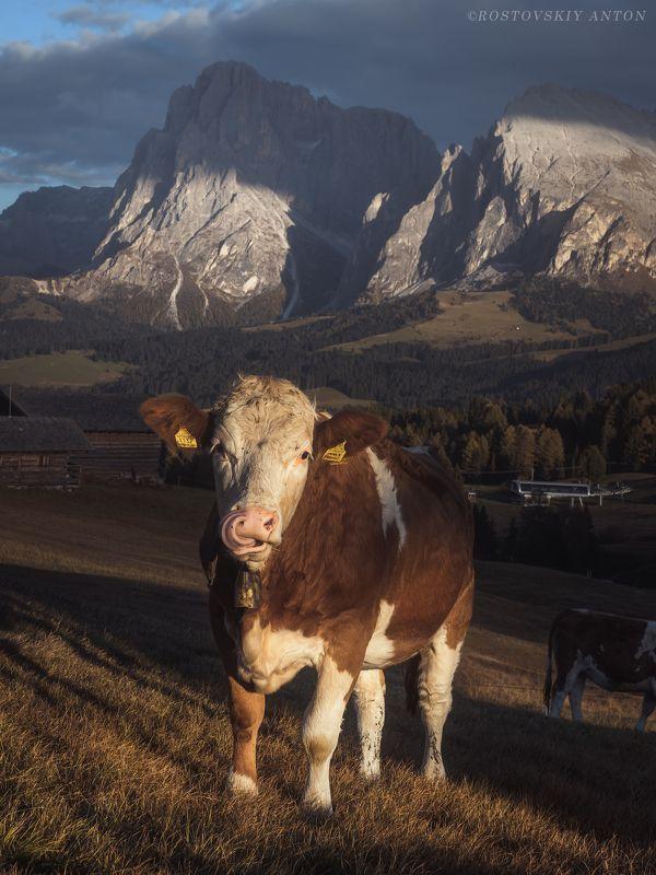 Доломиты, Альпы, фототур, корова, бурёнка Альпийская красоткаphoto preview
