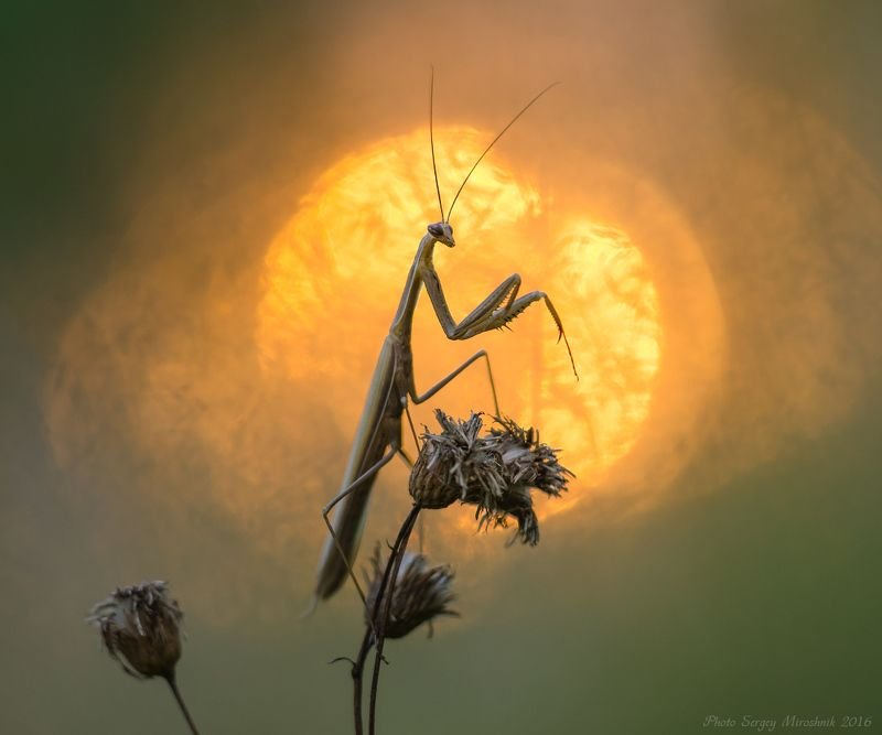 богомол, макро, солнце, вечер, закат, красиво, растение, украина Прощание с солнцемphoto preview