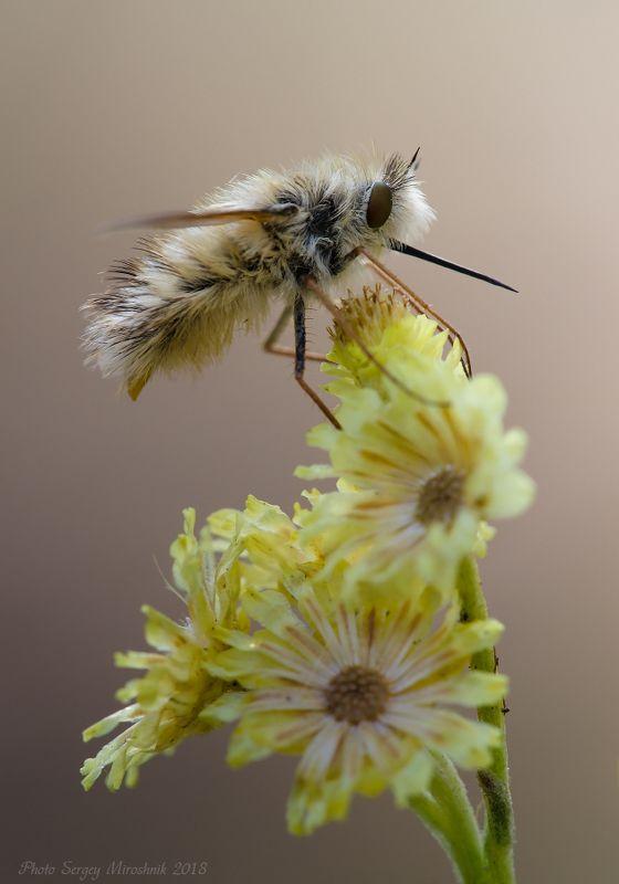 макро, муха, лето, август, красиво, растение, насекомое, жужжала, украина Длинноносая красавицаphoto preview