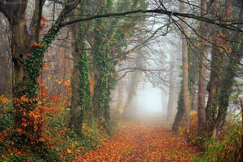 mysterious alley path dranikowski autumn tree fall foliage mist foggy road magic trees ivy Mysterious alleyphoto preview