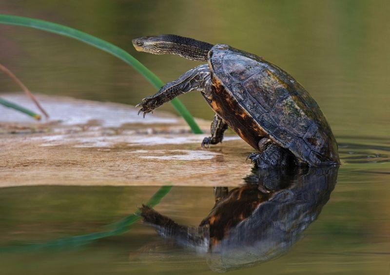 черепаха Прошу слова!...photo preview
