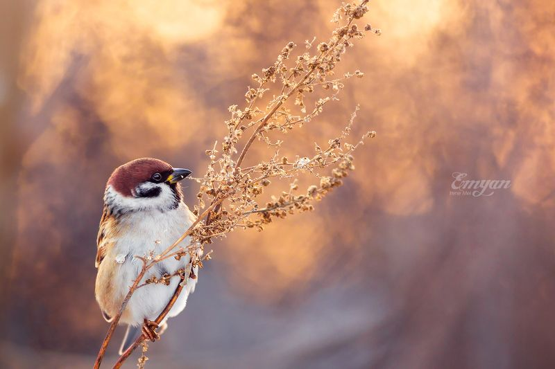 воробей полевой, животные, птицы, закат, golden light, tree sparrow, birds, animals, wildlife, nature Вечерняя трапезаphoto preview