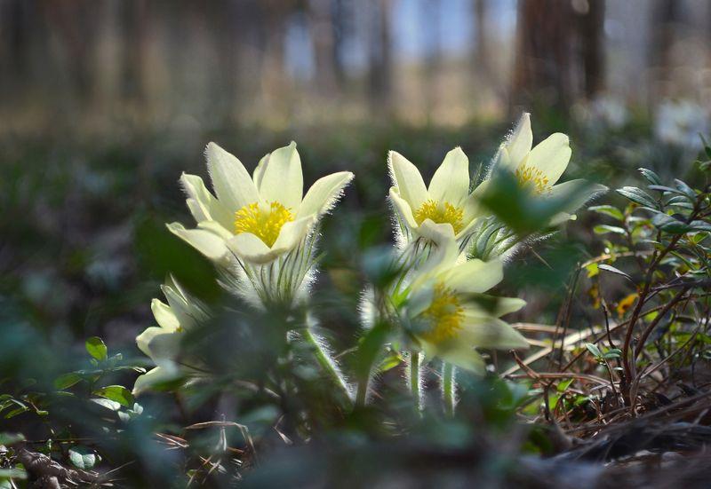 сон-трава, прострел, желтый, цветок, солнечный свет, лес, весна, май Сны майского лесаphoto preview