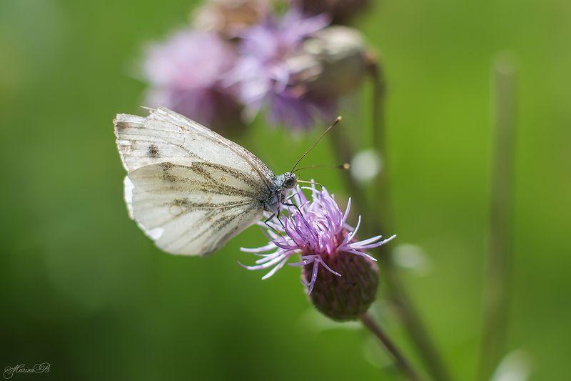 бабочки, капустница, лимонница, цветы, солнце, лето, Гостьи цветка - бабочкиphoto preview
