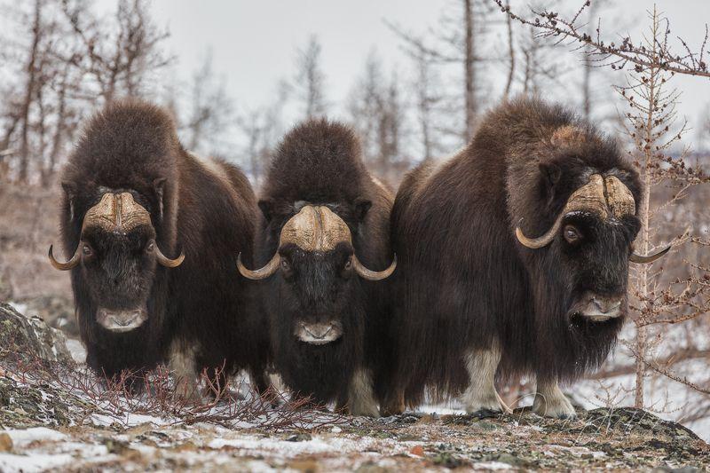 Овцебыки Ямалаphoto preview