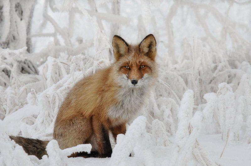 лис. зима. о. татышев. Рыжий лис.photo preview