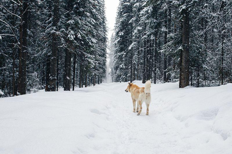 россия, снег, урал, лес, природа, животные, собака Невероятные приключения псаphoto preview
