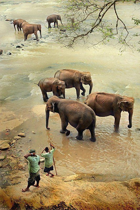 шри-ланка, слоны, пиннавела Купание слонов на Шри-Ланкеphoto preview