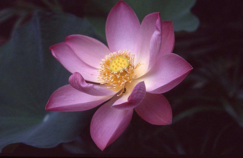 бали, плёнка Там лотосы цветут...photo preview