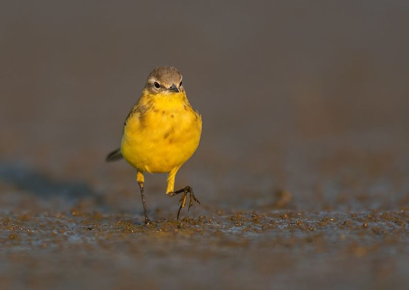 Pliszka żółta   _   Motacilla flavaphoto preview