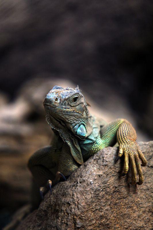 ящерица, животные, природа ***photo preview