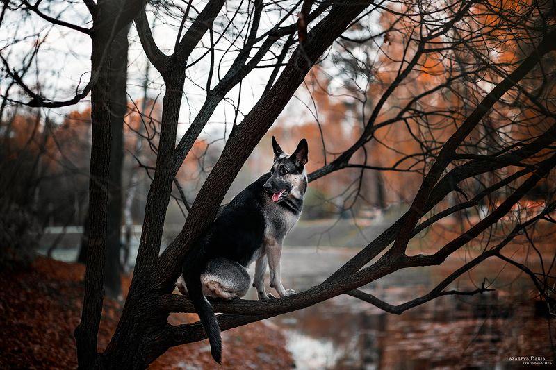 собака, природа, лес, овчарка Птичкаphoto preview
