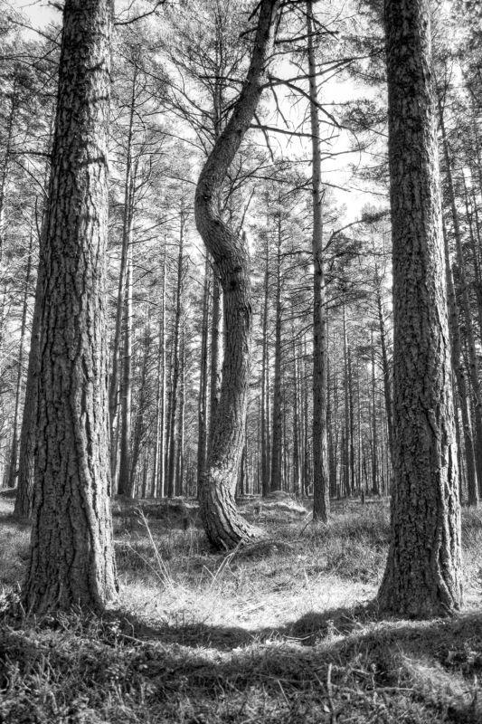 дерево, лес, природа, деревья, сосна, телохранитель bodyguardsphoto preview