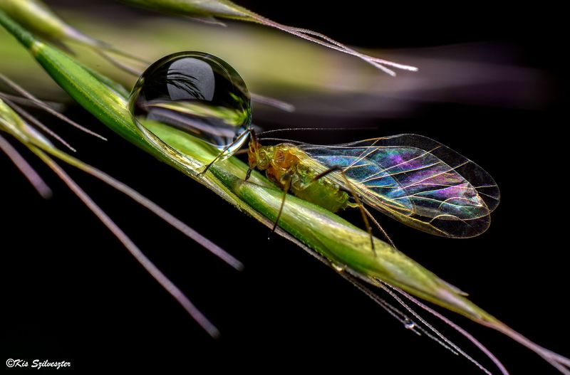#macro, #nature, #macrophotography, #aphid, #reverselens, #insectphotography, #dewdrop Sensual contact with a dewdropphoto preview