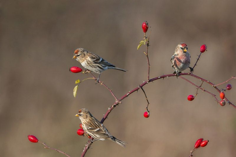Redpolls in the morningphoto preview