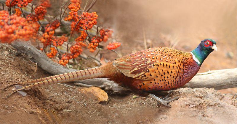 Обыкновенный фазан.(Phasianus colchicus)photo preview