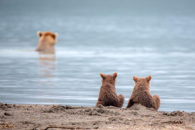 камчатка, медведь, озеро, природа, путешествие, животные, фототур,  В ожидании обедаphoto preview