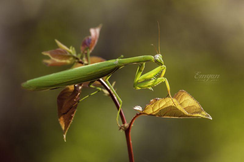 mantis, animals, nature, macro, macrophotography, mantis religiosa, playing mantis, богомол, макро, насекомые, животные, insects В закатных лучахphoto preview