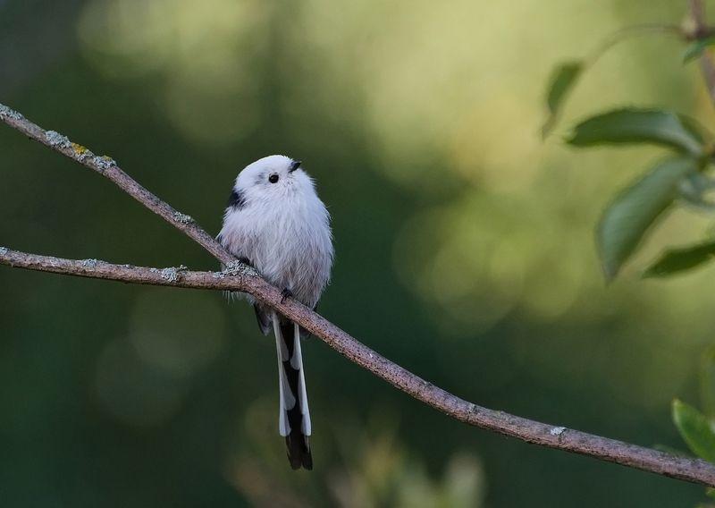 ополовник, длиннохвостая синица, птица Ветка птиц не выбирает. Ополовникphoto preview