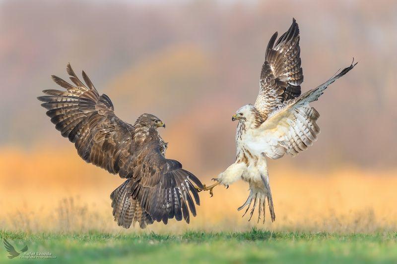 birds, nature, animals, wildlife, colors, meadow, raptors, poland, nikon, Myszołowy, Common Buzzard (Buteo buteo) ...photo preview