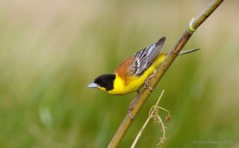 птицы, фотоохота, анималистика, wildlife, birds Черноголовая овсянкаphoto preview