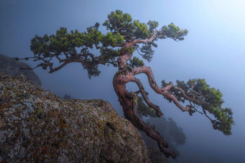 крым, демерджи, сосна, туман Танец в тумане фото превью