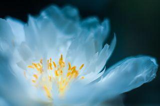 призрачный цветок