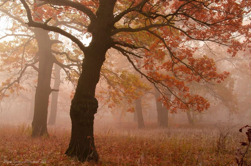 пейзаж, дуб, природа, лес, октябрь осень, туман, утро, украина Дубыphoto preview