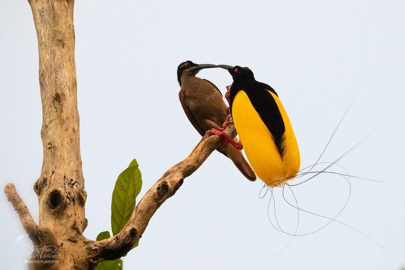 Поцелуй райской птицы. (Twelve-wired bird of paradise)photo preview
