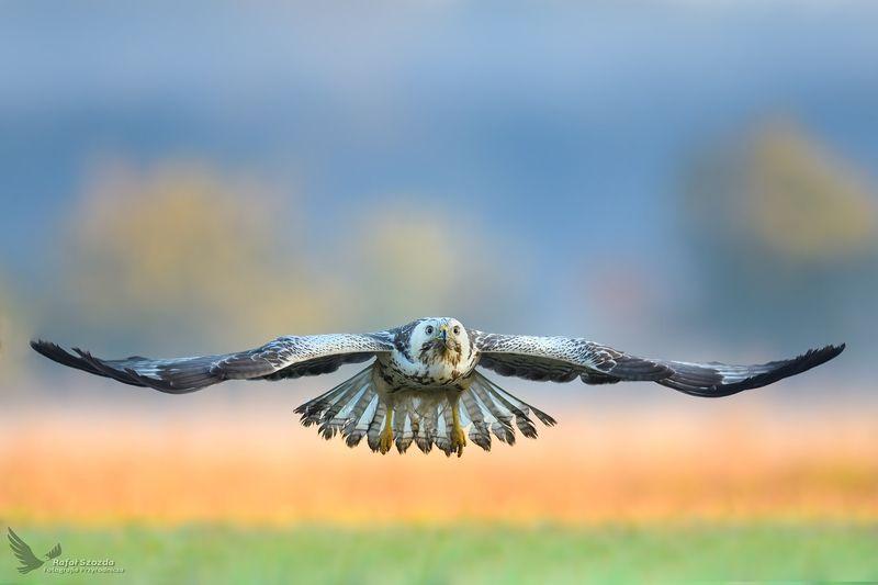 birds, nature, animals, wildlife, colors, meadow, flight, raptors, nikon, nikkor, lens, lubuskie, poland Myszołów, Common Buzzard (Buteo buteo) ... 2018rphoto preview