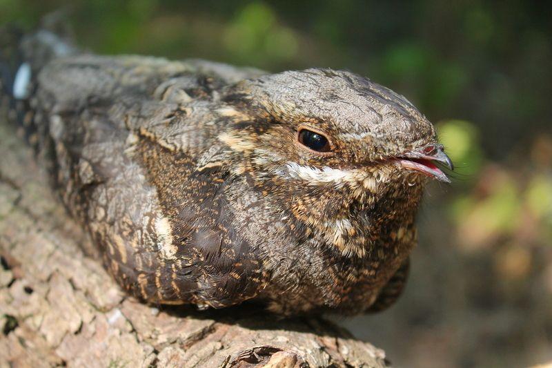 Обыкнове́нный козодо́й.(лат. Caprimulgus europaeus).photo preview