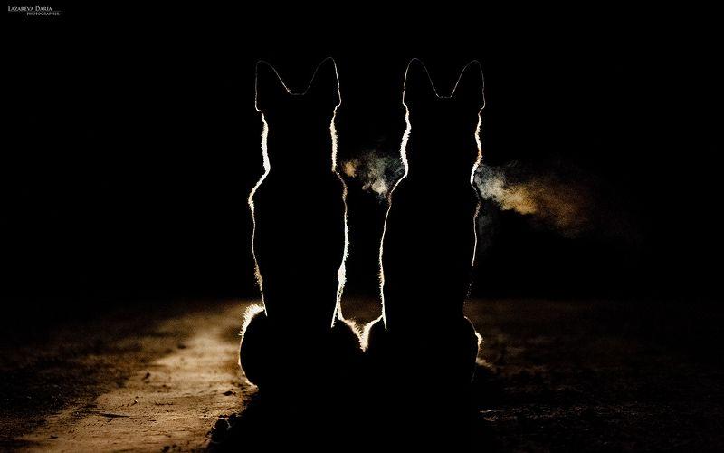 собака, природа, лес, овчарка, ночь, контровый свет Ночные стражиphoto preview