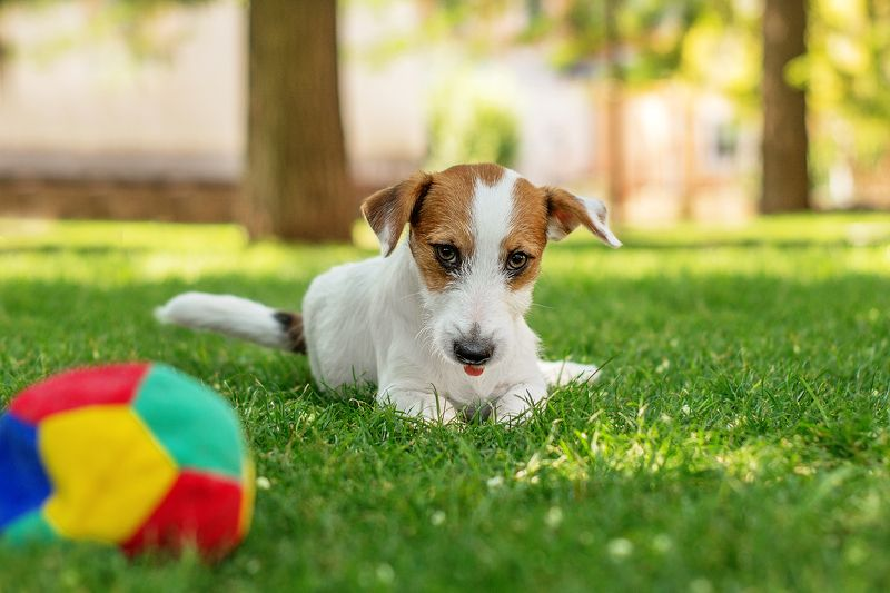 собака, щенок, анималистика, лето, домашние животные Мячикphoto preview