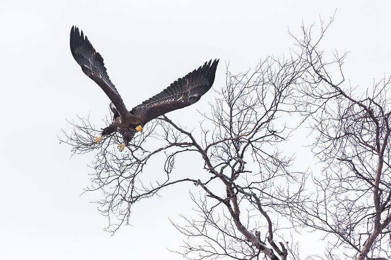 камчатка, орел, орлан, птицы, природа, путешествие, фототур, зима Охотникphoto preview