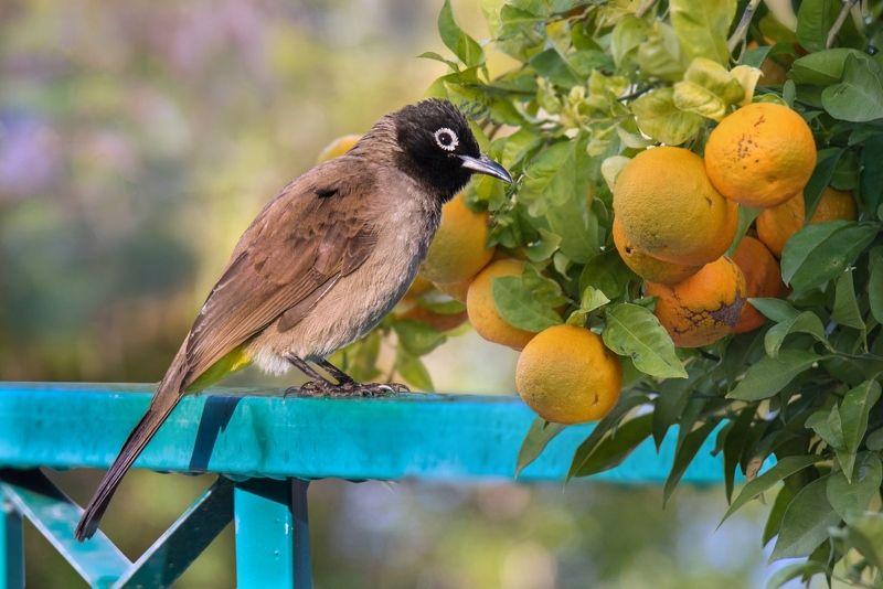 бюльбюль, декабрь, мандарины Декабрьский солнечный денёкphoto preview