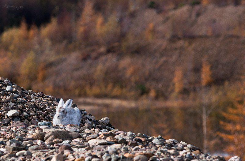 заяц, магадан, колыма, осень, животные,  лапки, уши, глаза, заяц беляк, тише воды но  ближе к небуphoto preview