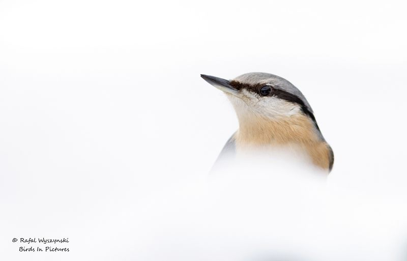 Eurasian Nuthatchphoto preview