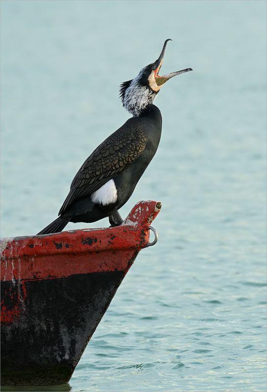 баклан, лодка, вода, закат, фауна Песнь ветруphoto preview