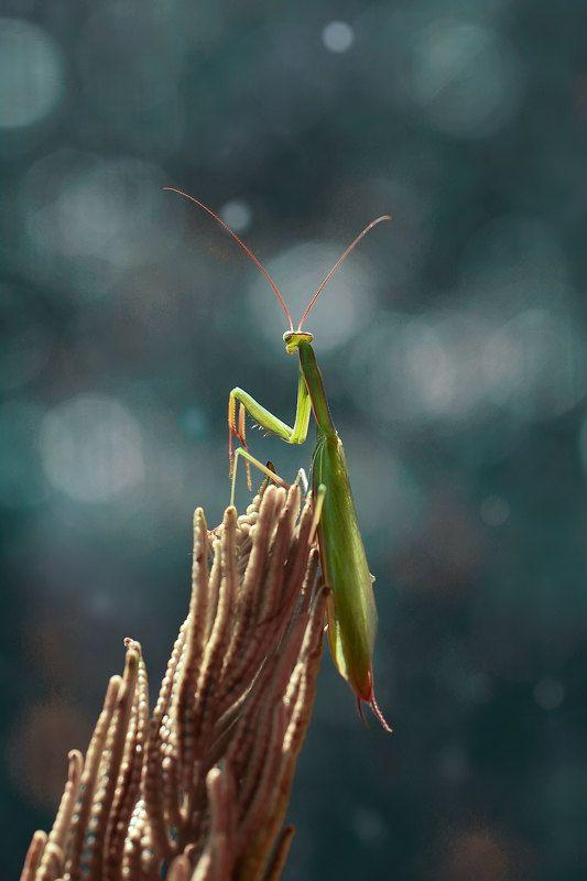 макро, богомол, природа photo preview