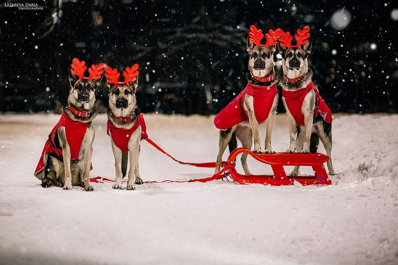 собака, природа, зима, овчарка, ночь,новый год Помощники Деда Морозаphoto preview