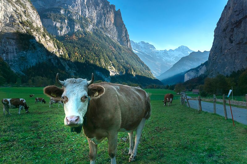 пейзаж, природа, долина, Лаутенбруннен, Швейцария, корова Корова в долине Лаутенбруннен, Швейцарияphoto preview