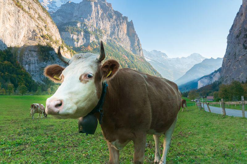 пейзаж,природа, Швейцария, Лаутенбруннен, корова Скромницаphoto preview