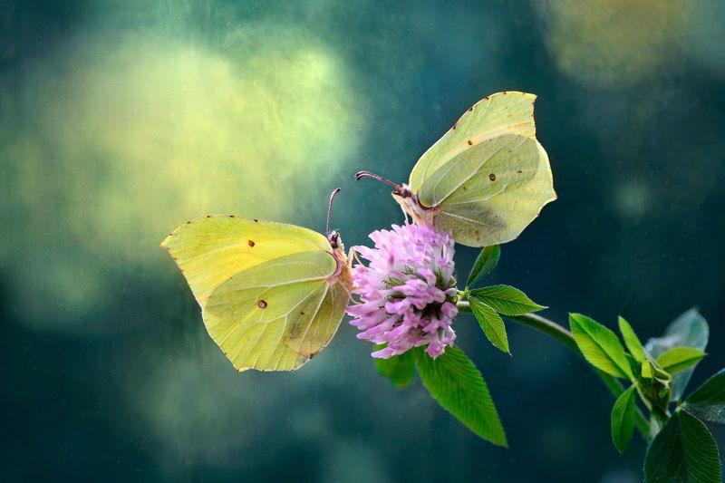 макро, природа, бабочки, пара бабочек, лимонницы, крушинницы, свидание  Свидание на медовом клевереphoto preview