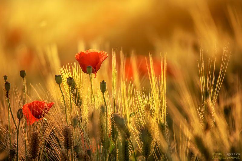 poppy barley flower nature light sunset macro Korea  poppy and barleyphoto preview
