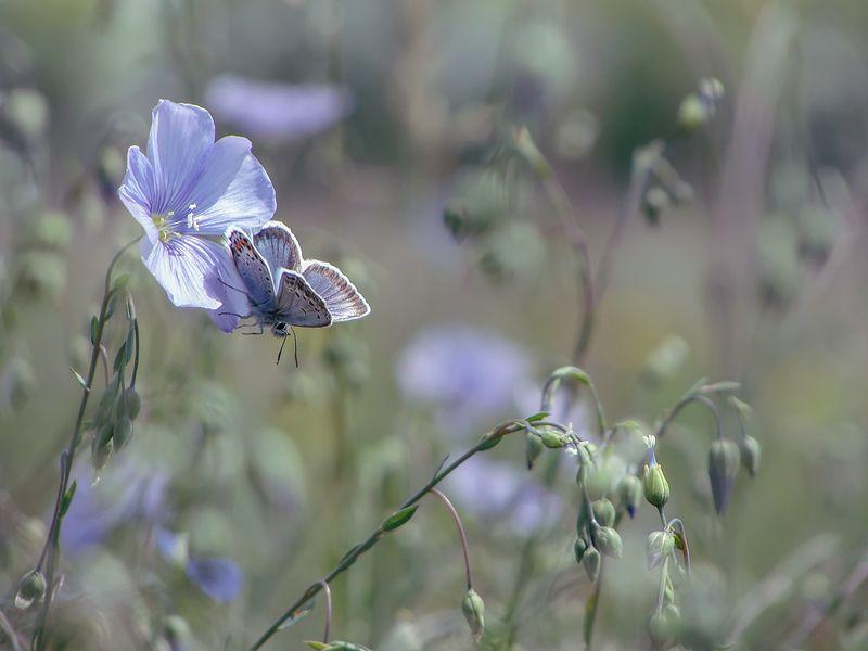 макро, насекомые, бабочка, голубянка, цветы, лён Голубые цветыphoto preview